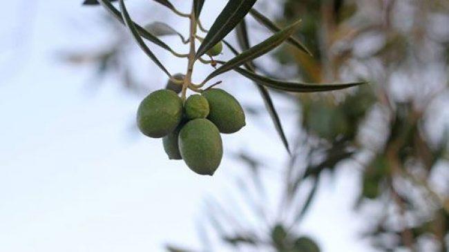 Aceite Finca de las Olivicas