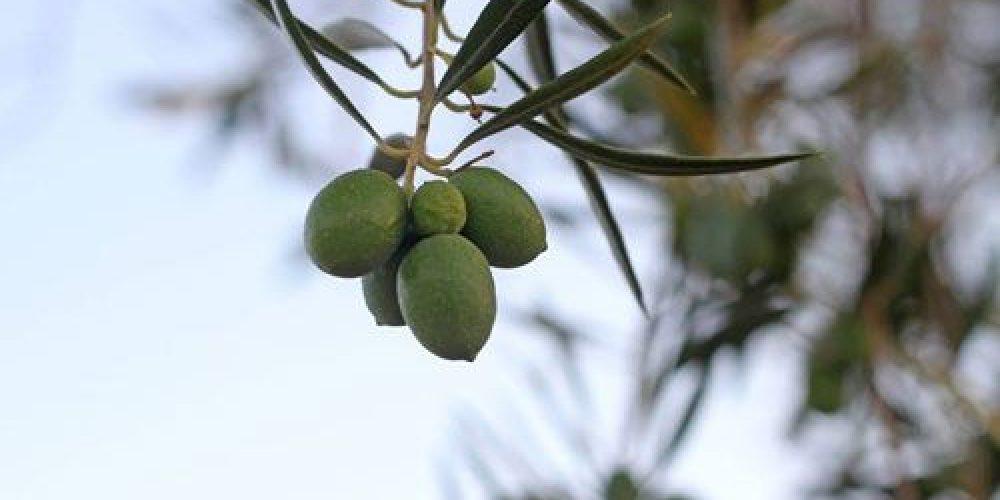 Aceite Finca las Olivicas
